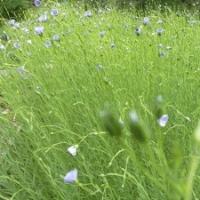 Bed of flax plants in flower